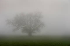 fog, santa barbara, live, oak, ca, california, coast