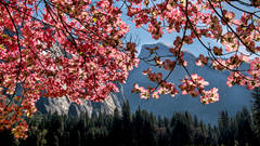 <p>dogwoods, ahwahnee, meadow, ca, california, yosemite, spring, trees, sierra, mountains, half dome, half, dome</p>