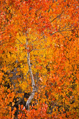 eastern sierra, sierra, fall, fall color, ca, california, trees, sunset, aspens, rock creek, mountains, owens river valley, owens river