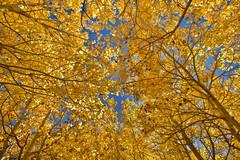 eastern sierra, sierra, fall, fall color, ca, california, trees, aspens, mountains, aspen dell, owens river valley, owens river