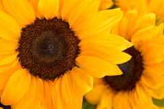 sunflower, plants, ca, california, northern