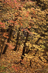 trees, fall, fall color, sedona, az, arizona, mountains, maples, oaks, west fork, southwest