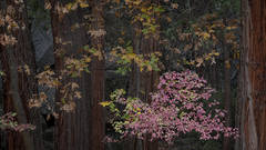 yosemite, national park, sierra, valley, fall, trees, merced, flora, mountains, leaves, ca, colors, dogwoods