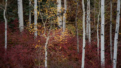 fall colors, fall, aspens, trees, mountains, co, colorado, durango, san juan, rockies