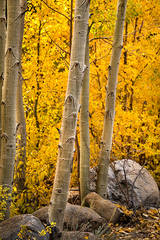 eastern sierra, sierra, aspens,  rock creek, fall, ca, california, trees, water, mountains, fall colors, fall colors