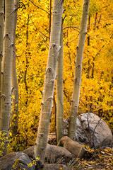 eastern sierra, sierra, aspens,  rock creek, fall, ca, california, trees, water, mountains, fall colors, fall colors
