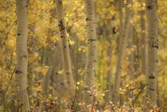 Rocky Mountains, San Juan mountains, rockies, san juans, fall, autumn, color, trees, aspen, pine, fir, colorado, co, gunnison, kebler pass, aspens