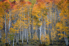 Rocky Mountains, San Juan mountains, rockies, san juans, fall, autumn, colors, trees, aspen, pine, fir, colorado, co, durango,