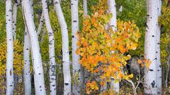 Sierra, fall. color, fall colors, mountains, trees, landscape, Bishop, aspens, california, aspendell