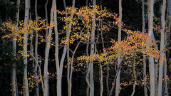 colorado, co, aspens, fall, colors, fall colors, san juan, san juan mountains, mountains, rocky mountains, flora, sunrise, sunset, autumn, ridgeway, our, durango, purgatory, crested butte, kebler pass