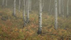Rocky Mountains, San Juan mountains, rockies, san juans, fall, autumn, color, trees, aspen, pine, fir, colorado, co, owl creek, fog, aspens