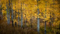 Aspen Stand, Fall