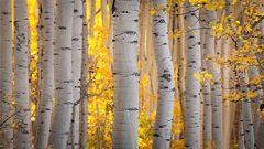 colorado, co, fall, san juan, owl creek, aspens, trees, flora, mountains, colorado plateau, sunrise, dallas divide, ridgway, backlight, rockies, rocky mountains, national park, predawn, dawn, sunrise,