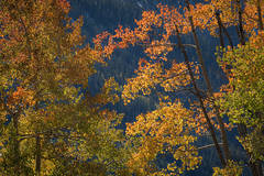 Rocky Mountains, San Juan mountains, rockies, san juans, fall, autumn, color, trees, aspen, pine, fir, colorado, co, owl creek, fog, aspens