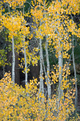 Sierra, fall. color, fall colors, mountains, trees, landscape, Bishop, aspens, california, south lake