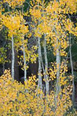 Sierra, fall. color, fall colors, mountains, trees, landscape, Bishop, aspens, california, south lake