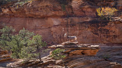 Zion, Zion National Park, ut, utah, red rock, trees, fall, colorado plateau, southwest, mountains, sandstone, trees, water, waterfall, dawn, pines, walls, mt carmel road, east zion, fall color, bonsai