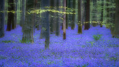 flora, bluebells, blue forest, belgium, halle, hellebores, hyacinth, spring, wildflowers, trees, dreams, dreamy, mood,