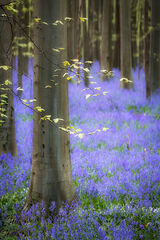 Blue Forest Morning Glow