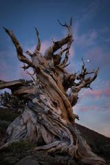 bristlecone pine, trees, moonrise, moon, sunset, landscape, white mountains, sierra, mountains, california, ca, owens valley, 395, big pine, bristlecone pine reserve, forest, bristlecone, pines, big p