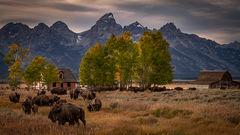 Mormon Ranch Bison
