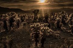 joshua tree, cholla, desert, ca, california, mountains, cactus, cacti, succulents, flora