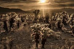 ca, california, sunrise, desert, southwest, joshua tree national park, flora, cholla
