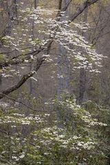 Spring Dogwood, Vertical