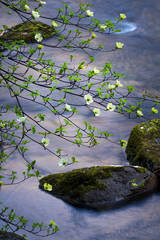 Dogwoods and Merced River