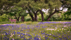 texas, tx, wildflowers, blue bonnets, indian paint brush, texas hill country, flora, lupine, flora, oaks, spring