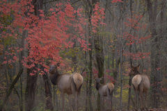 great smoky national park, smokys, mountains, fall, water, nc, tn, north carolina, tennessee, maples, colors, national, park, flora, trees, oconaluftee, river, fog, sunrise, fog, elk