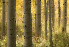 Rocky Mountains, San Juan mountains, rockies, san juans, fall, autumn, color, trees, aspen, pine, fir, colorado, co, owl creek, fog
