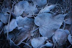 Leaf Hoar Frost