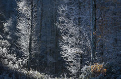 Hor Frost Forest 1