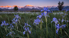 eastern sierra, sierra, aspens,  bishop, spring, ca, california, trees, water, mountains, spring colors, mountains, iris, flora, wildflowers, sunrise, mt tom