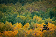 Rocky Mountains, San Juan mountains, rockies, san juans, fall, autumn, color, trees, aspen, pine, fir, colorado, co, telluride,