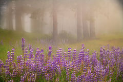 redwoods national park, redwoods, ca, california, flora, trees, lady bird reserve, lady bird, wildflowers, lupine, fog