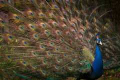 Peacock, Magnolia Gardens
