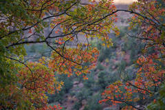 Zion, Zion National Park, ut, utah, red rock, trees, fall, colorado plateau, southwest, mountains, sandstone, zion canyon, weeping rock, cottonwood, trees, towers, flora, maples, fall colors, virgin r