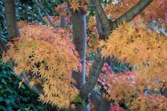 fall, fall colors, maples, trees, autumn,