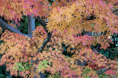 fall, fall colors, maples, trees, autumn,