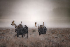 grand teton national park, tetons, snake river, snake, river, mountains, trees, water, color, aspens, clouds, fog, dawn, atmospherics, winter, moose, wildlife, animals