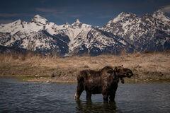 Moose along Gros Ventre