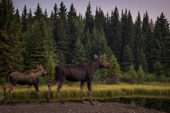 grand teton national park, tetons, snake river, snake, river, mountains, trees, water, color, aspens, sunset, moose, clouds, schwabaker, flora, schwabacher landing, wildlife