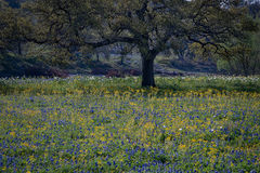 texas, tx, wildflowers, blue bonnets, indian paint brush, texas hill country, flora, lupine, flora, oaks, spring, mustard, larch, fredericksburg
