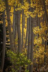 Fall Aspens, Owl Creek