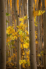 colorado, co, fall, san juan, owl creek, aspens, trees, flora, mountains, colorado plateau, sunrise, dallas divide, ridgway, backlight, rockies, rocky mountains, national park, predawn, dawn, sunrise