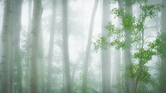 colorado, co, san juan mountains, mountains. trees, aspens, fall, fog, atmospherics, owl creek, ridgway, snow, flora, autumn, rockies