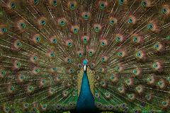 Peacock 2, Magnolia Gardens