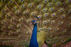 Peacock 3, Magnolia Gardens